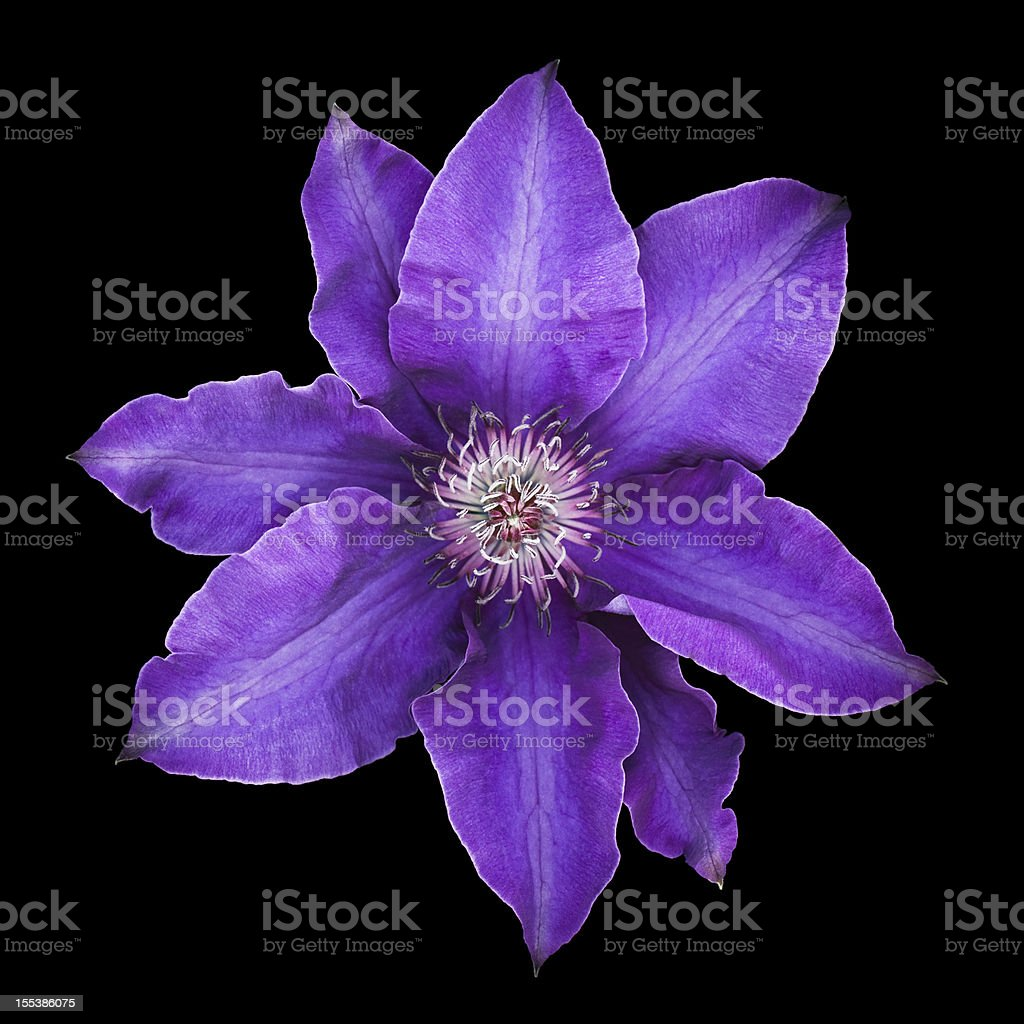 Purple clematis flower in bloom isolated on black background stock photo