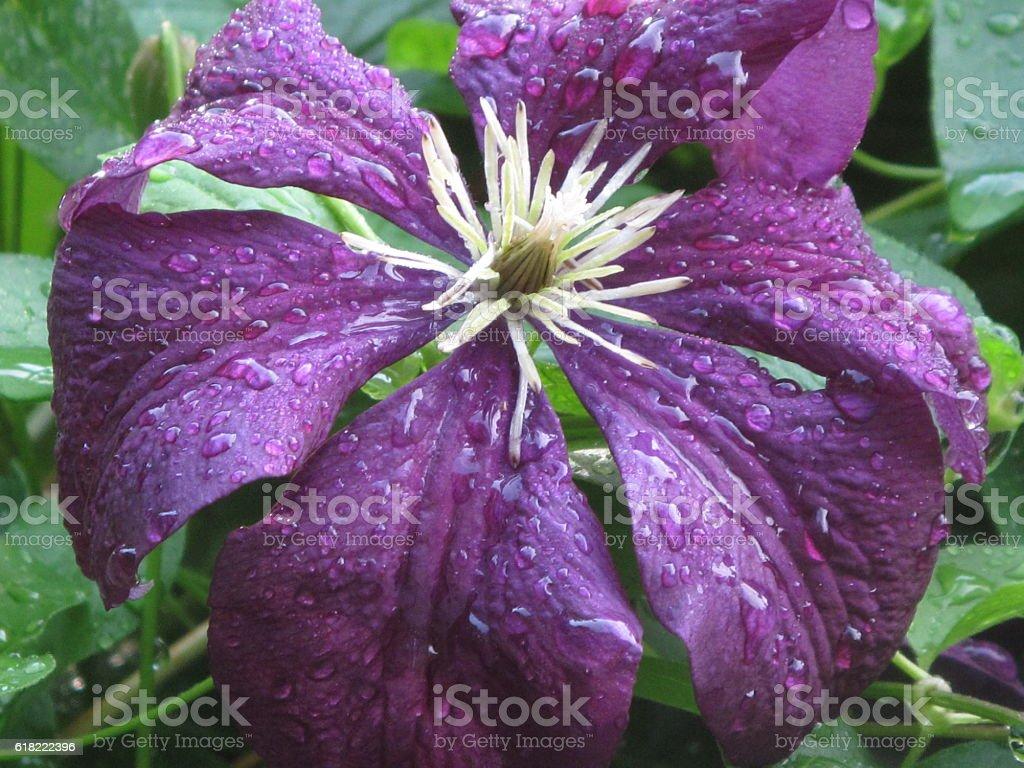 Purple clematis flower stock photo