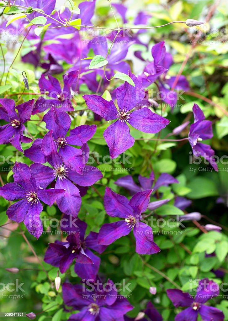 Purple Clematis, Oslo Norway stock photo