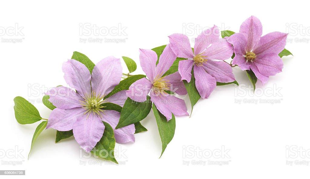 Purple clematis. stock photo