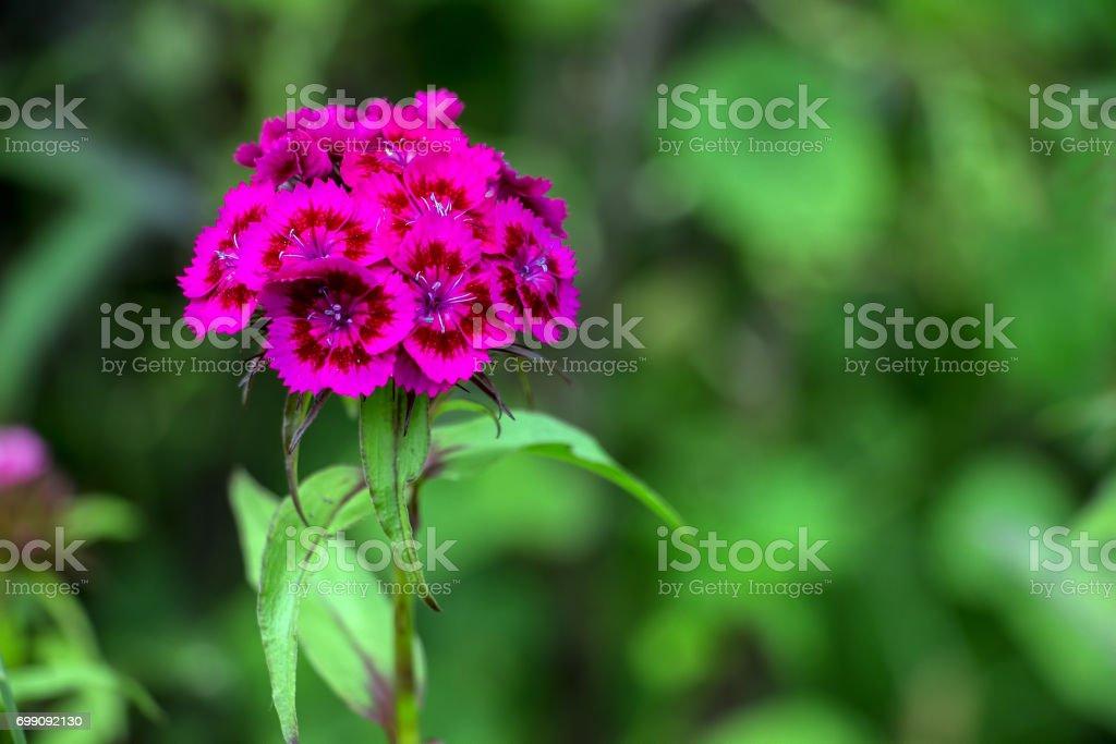 Purple Cloves Turkish stock photo