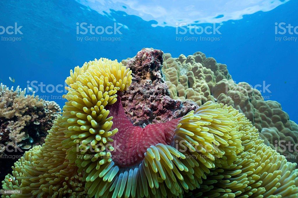 Purple Coat of Magnificent Sea Anemone Heteractis magnifica, Sulawesi, Indonesia stock photo