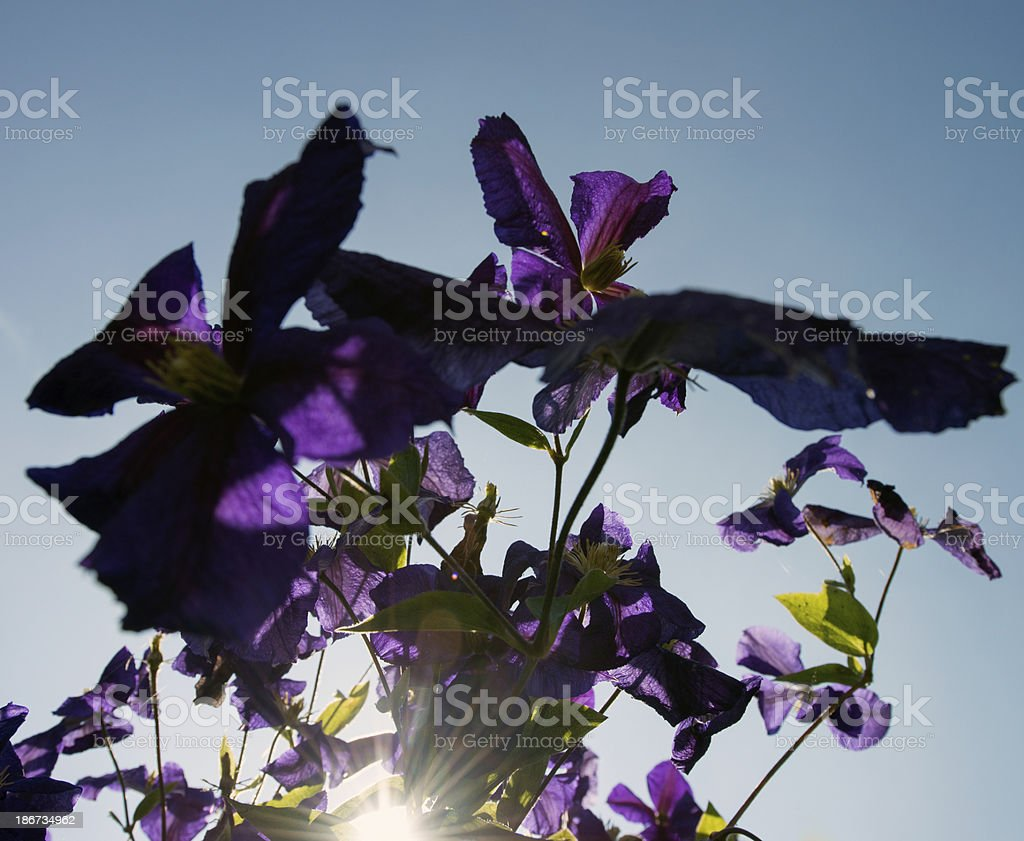 Purple color flower royalty-free stock photo