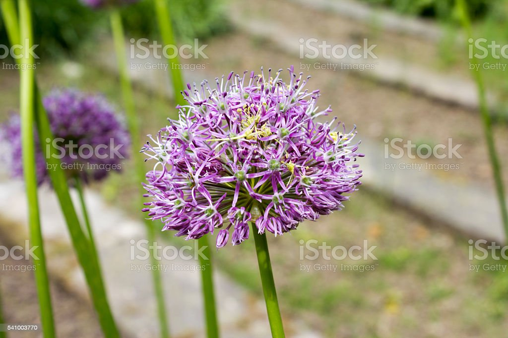 Purple color ornamental onion (Allium bulgaricum) in a botanical garden stock photo