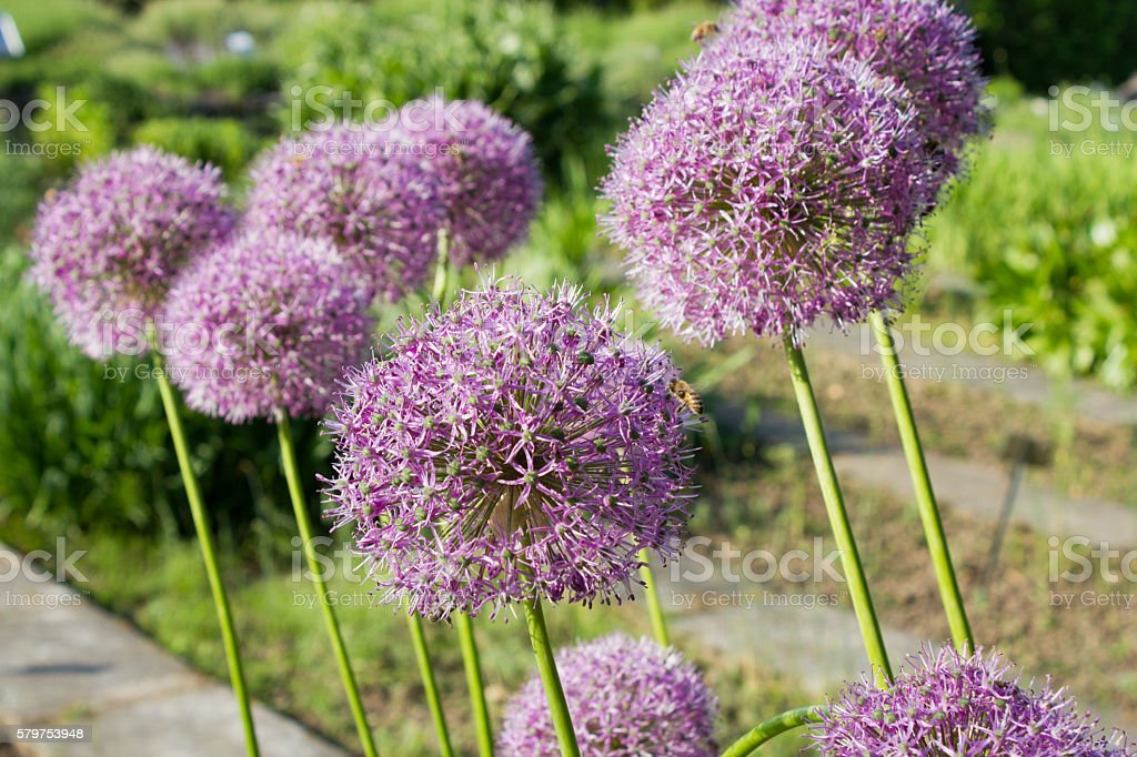 Purple color ornamental onion (Allium bulgaricum) stock photo