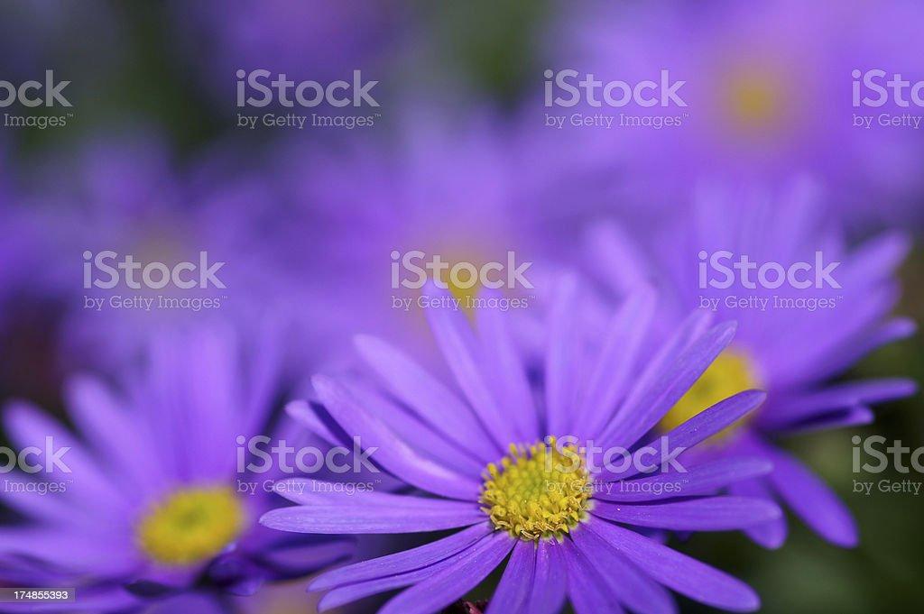 Purple colored daisies stock photo