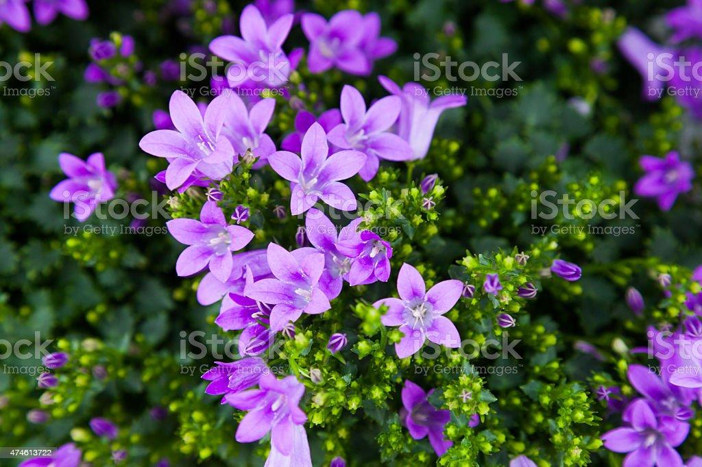 Purple colored Flower Blossoms Campanula stock photo