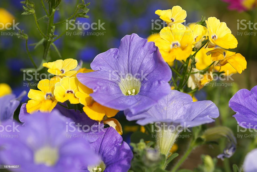 Purple colored petunias stock photo