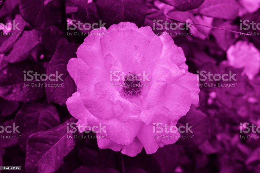 Purple (violet) colored roses stock photo