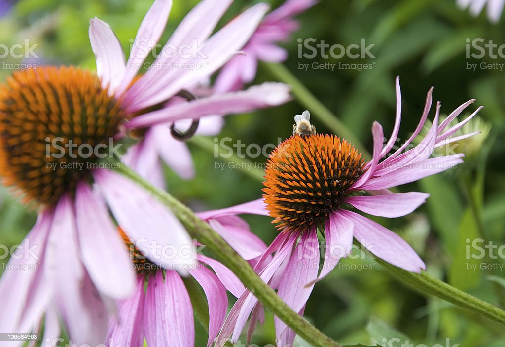 purple cone flower royalty-free stock photo