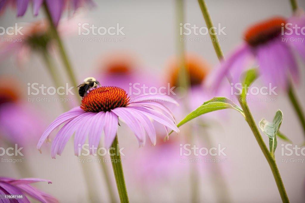 Purple Coneflower, Echinacea purpurea royalty-free stock photo