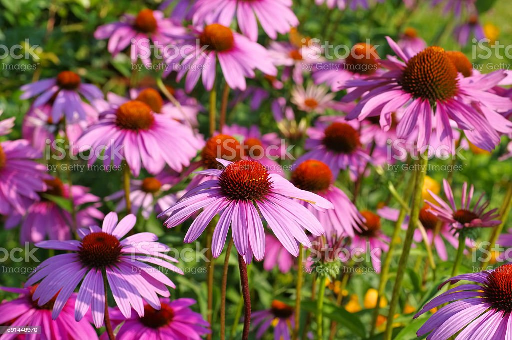Purple coneflower, nice pink summer flower stock photo