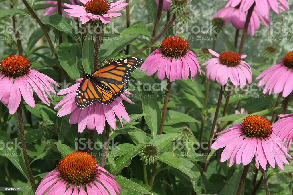 Purple coneflower royalty-free stock photo