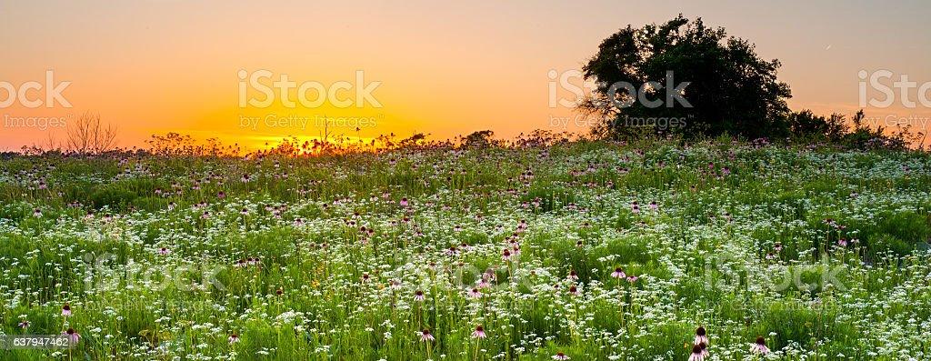 Purple Coneflowers at Sunset, Oklahoma stock photo