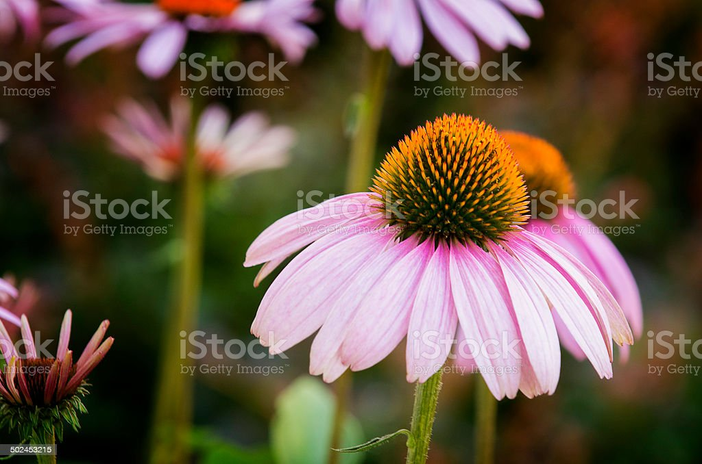 Purple Coneflowers stock photo