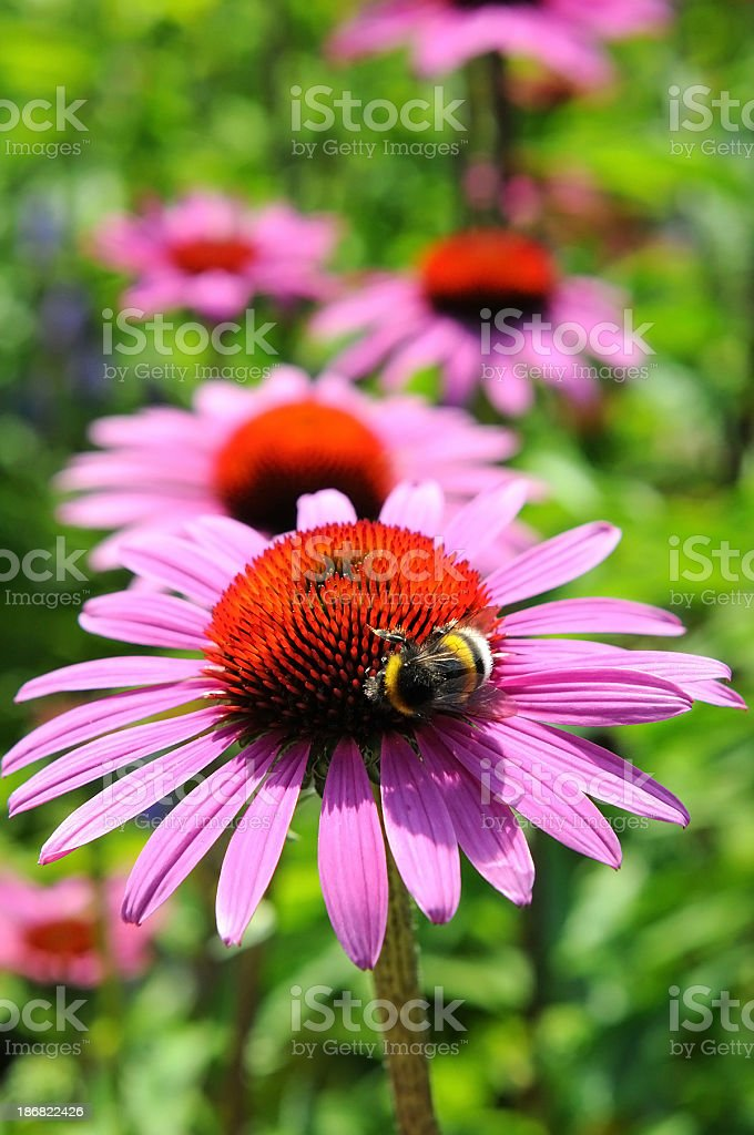 purple coneflowers (Echinacea) with bumblebee stock photo