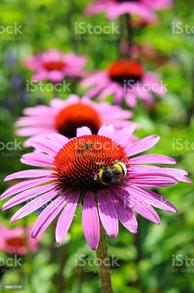 purple coneflowers (Echinacea) with bumblebee stock photo