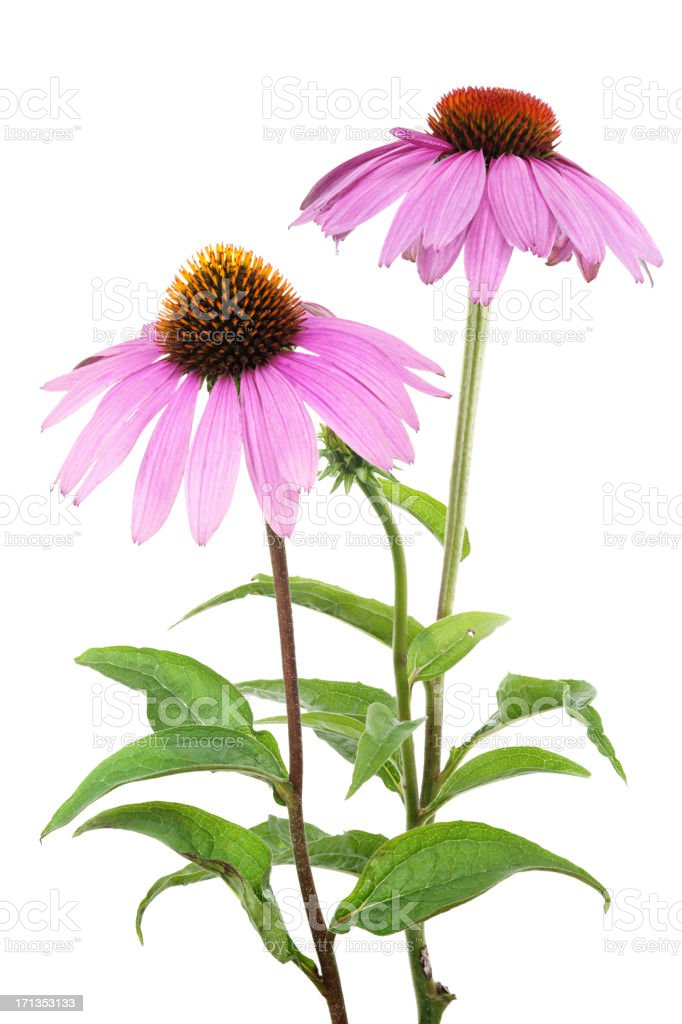 Purple coneflowers with stems isolated on white stock photo