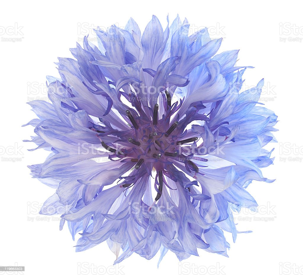 A purple cornflower shot from above stock photo