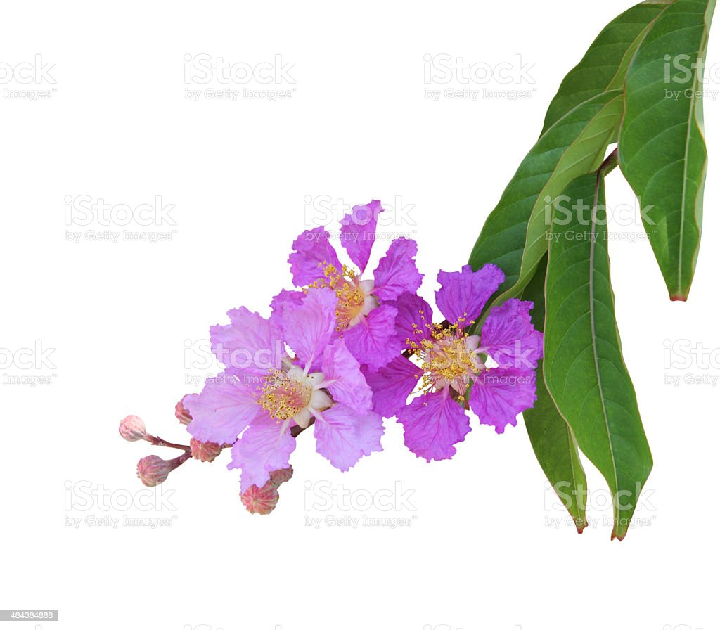 Purple crape myrtle flower isolated on white stock photo