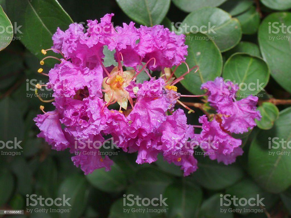 Purple crape myrtle stock photo