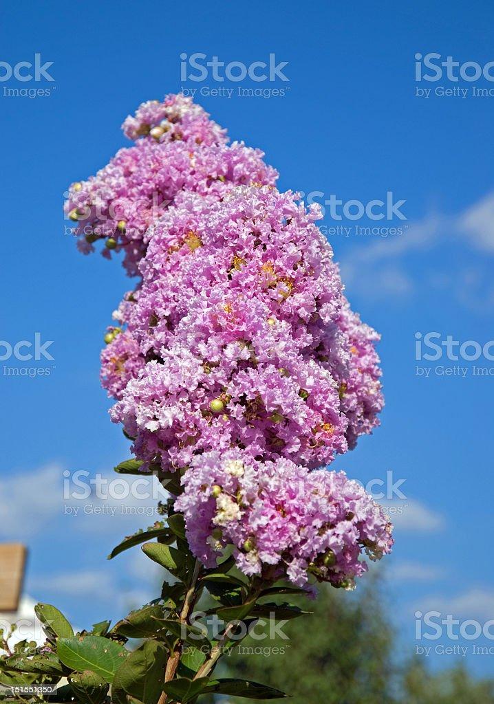 Purple Crepe Myrtle royalty-free stock photo