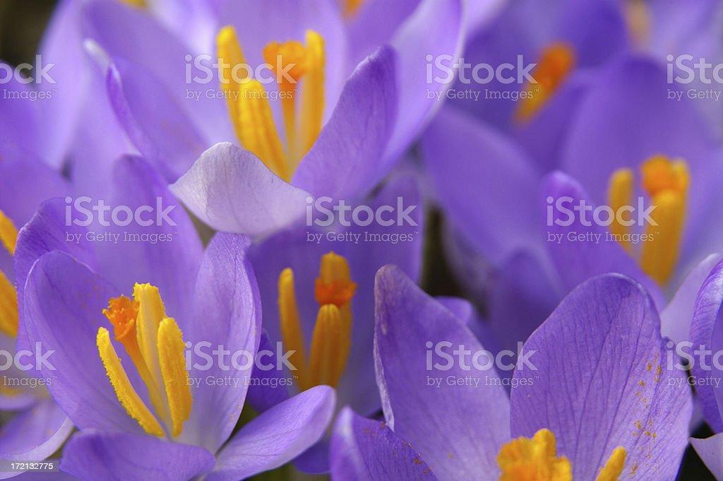 Purple croci royalty-free stock photo