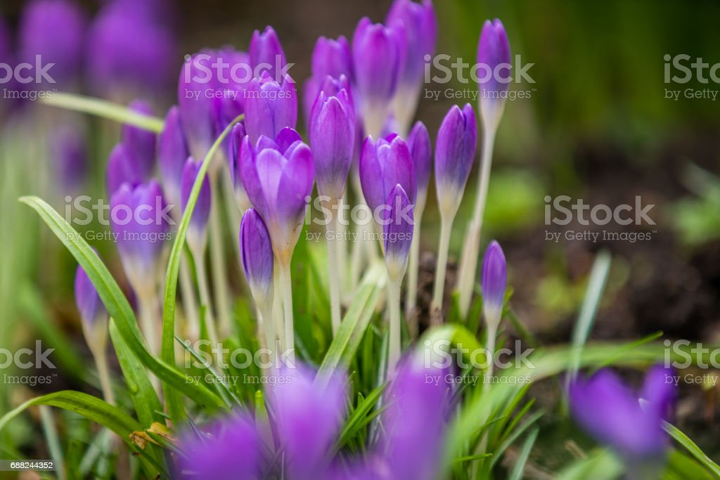 Purple Crocus and Snowdrops stock photo