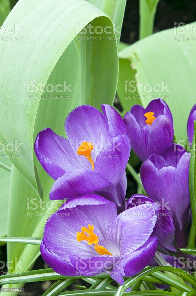 Purple Crocus Blooms in Garden royalty-free stock photo