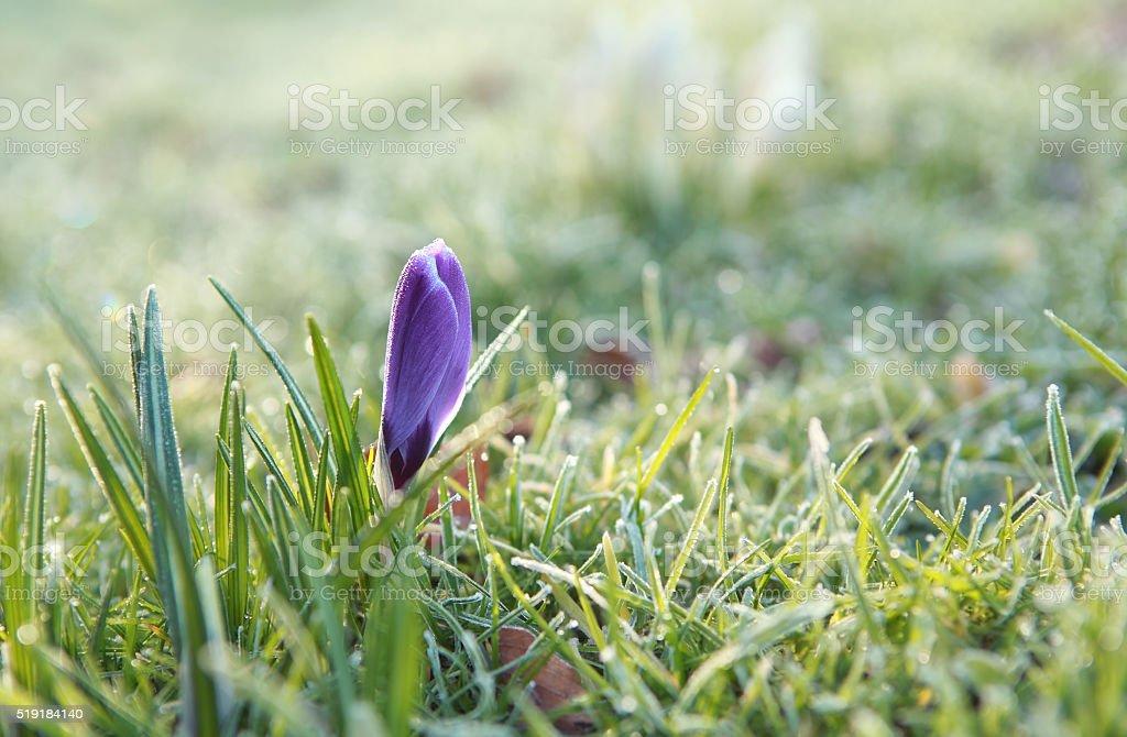 purple crocus flower in grass stock photo