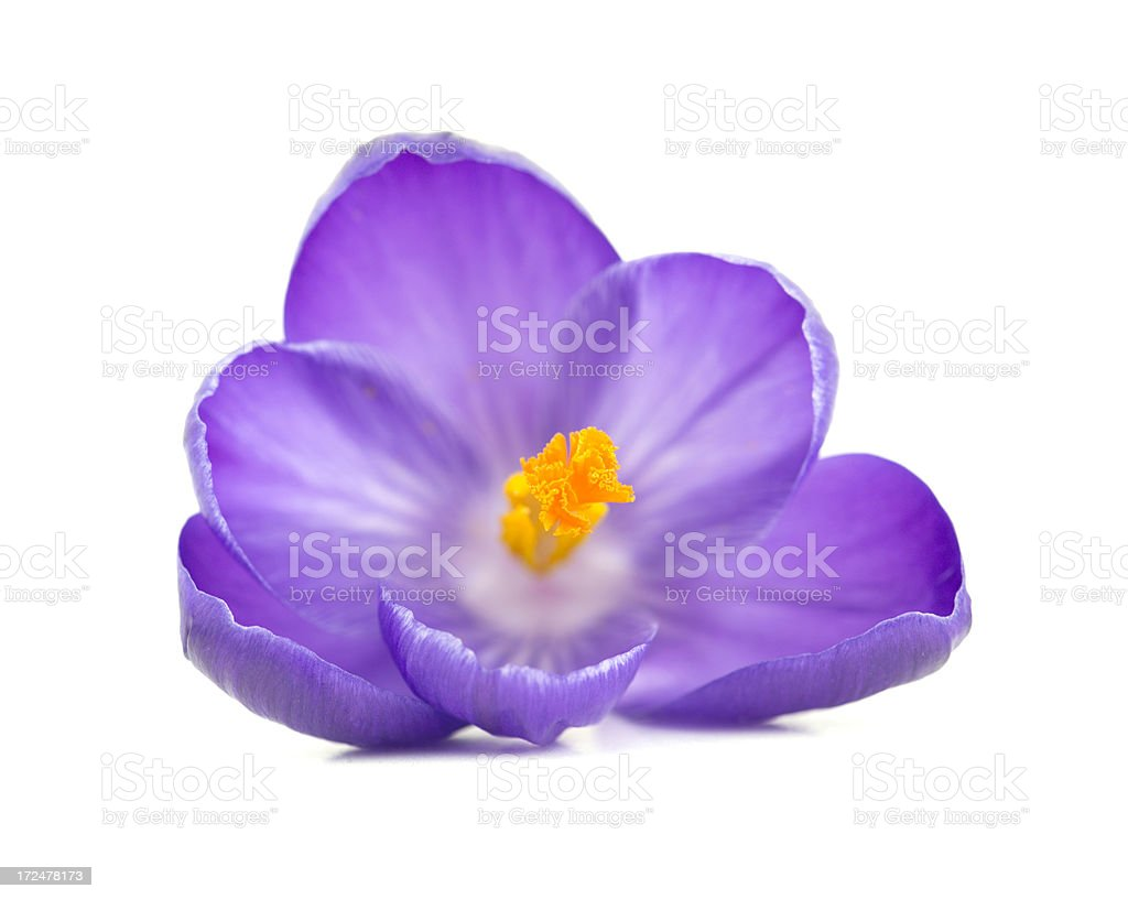Purple Crocus flower on a white background royalty-free stock photo