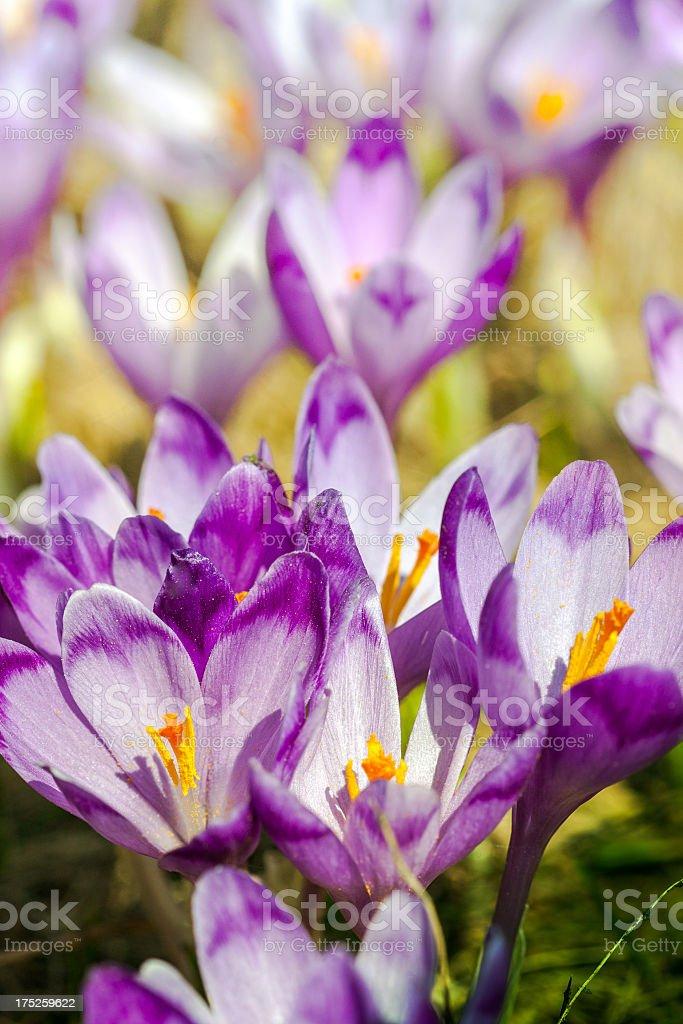 Purple crocus flower stock photo