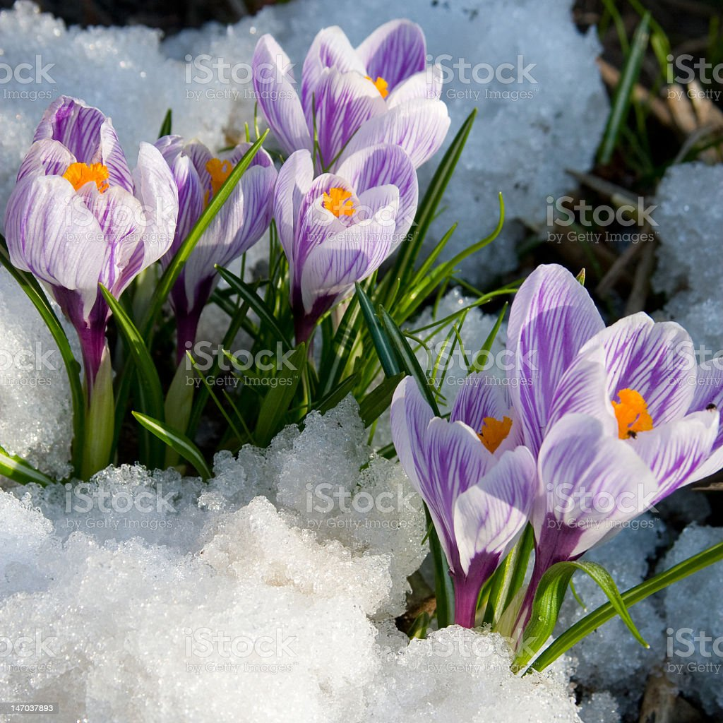 Purple crocus flowers blooming in the snow stock photo