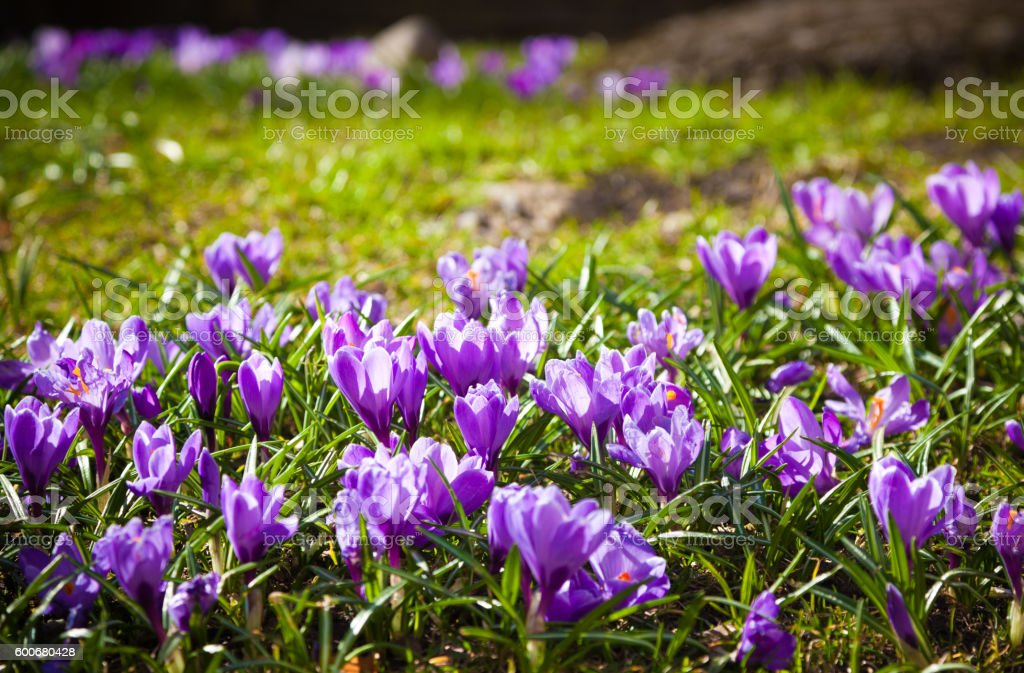 Purple crocus flowers in spring stock photo