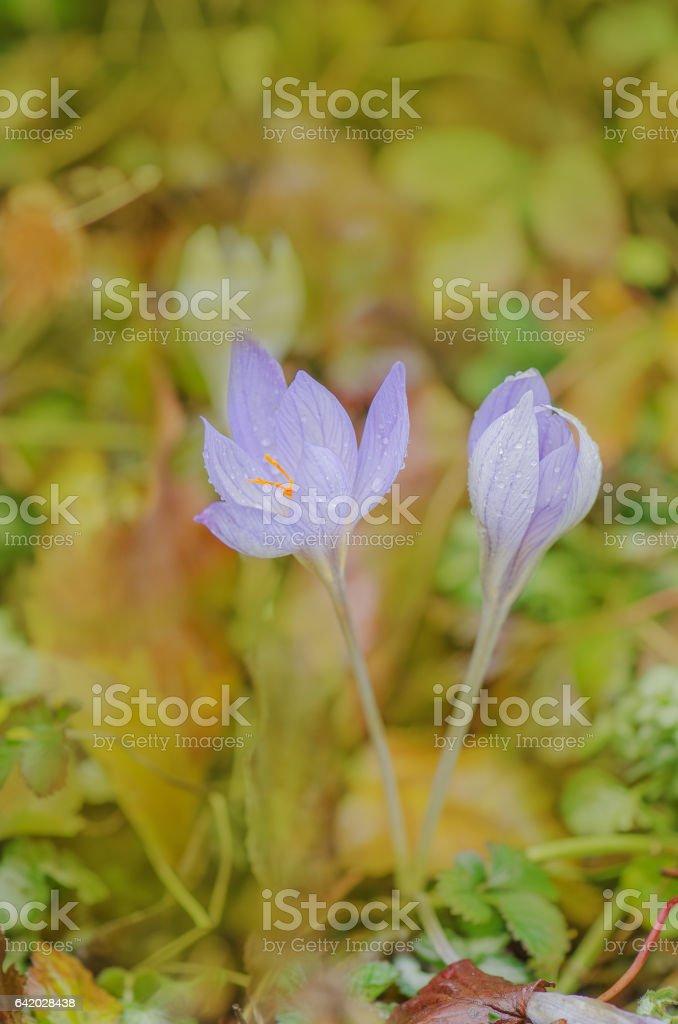 Purple crocus growing outside stock photo