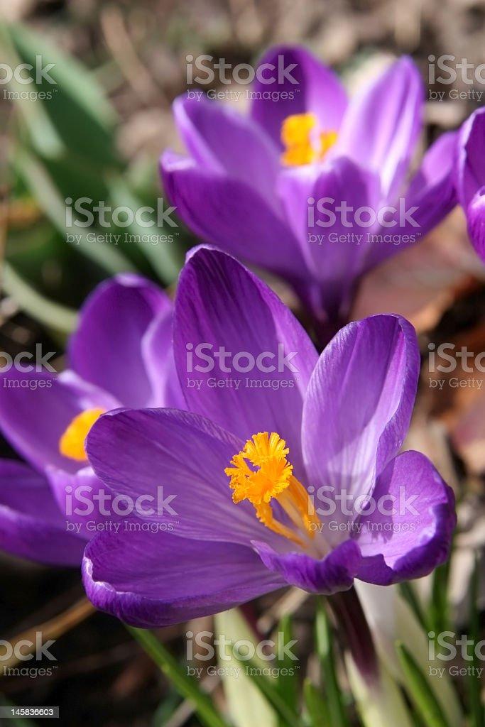 purple crocus in garden royalty-free stock photo