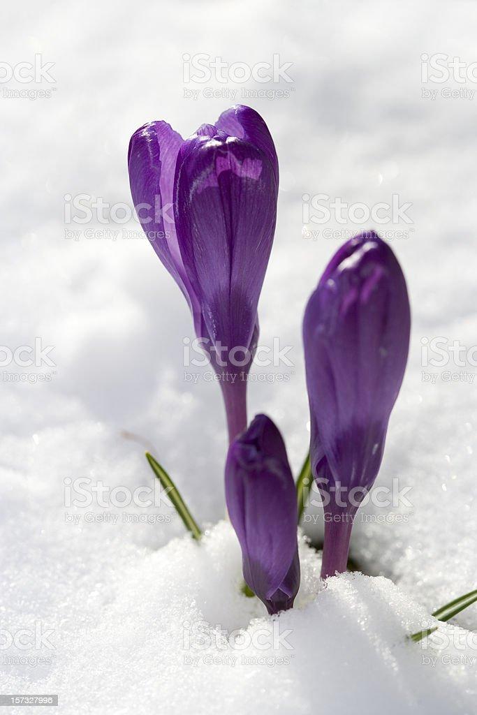 Purple crocus in snowy flowerbed (Sweden) royalty-free stock photo