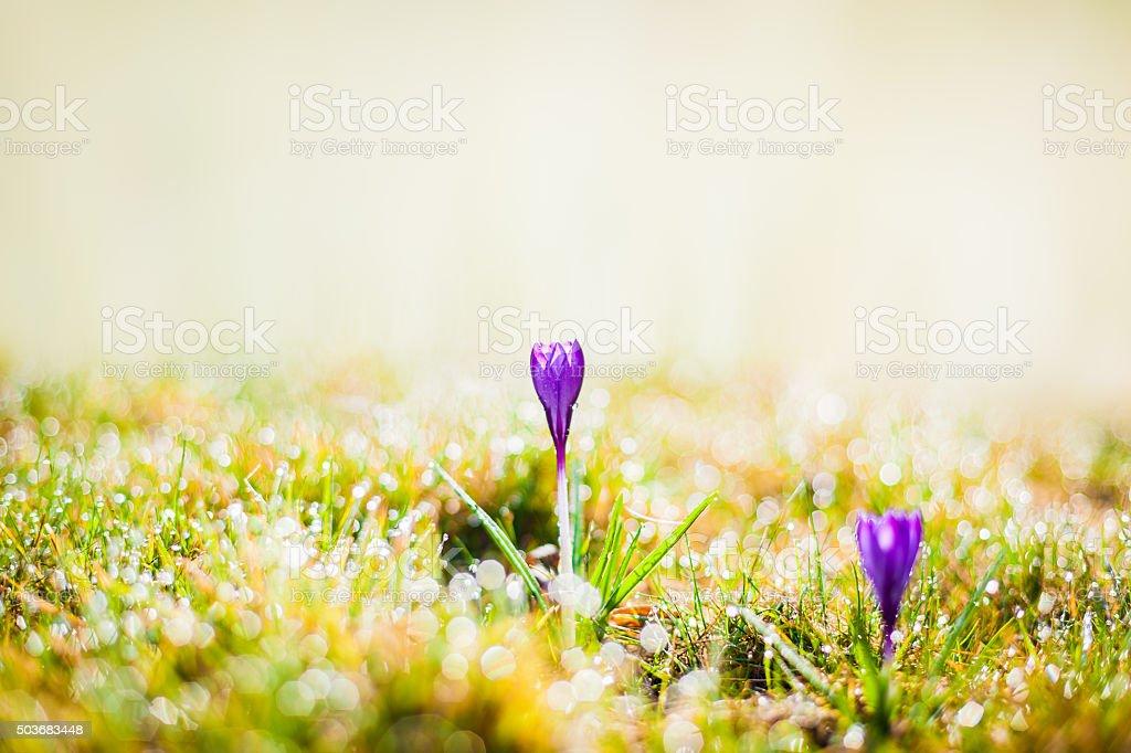 purple crocus in spring stock photo