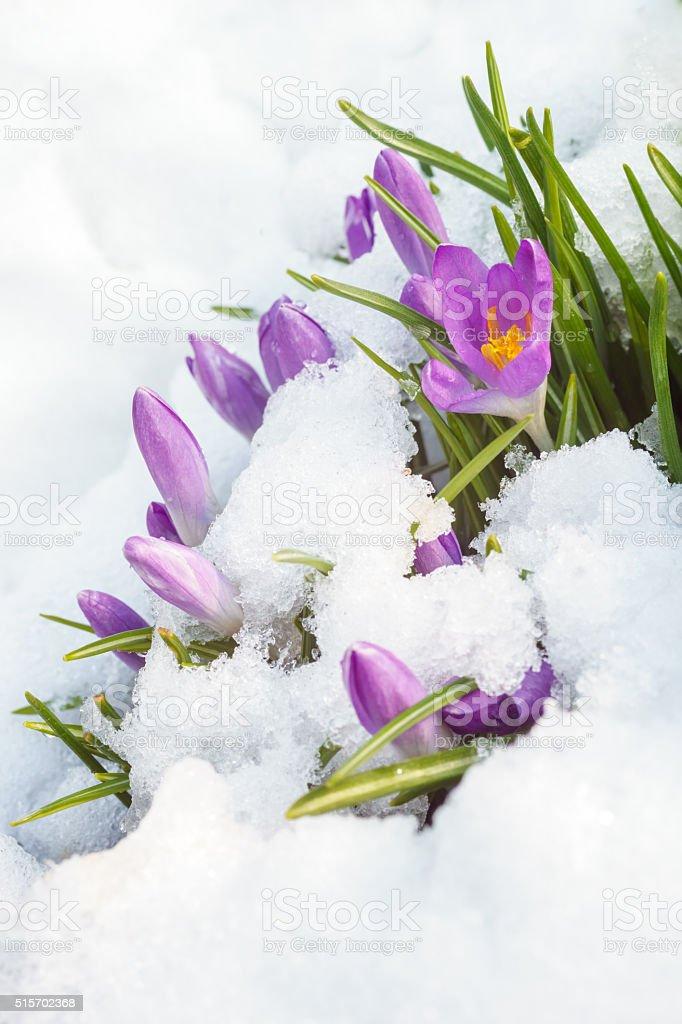 purple crocus on white snow stock photo