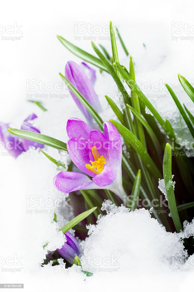 purple crocus on white snow stock photo