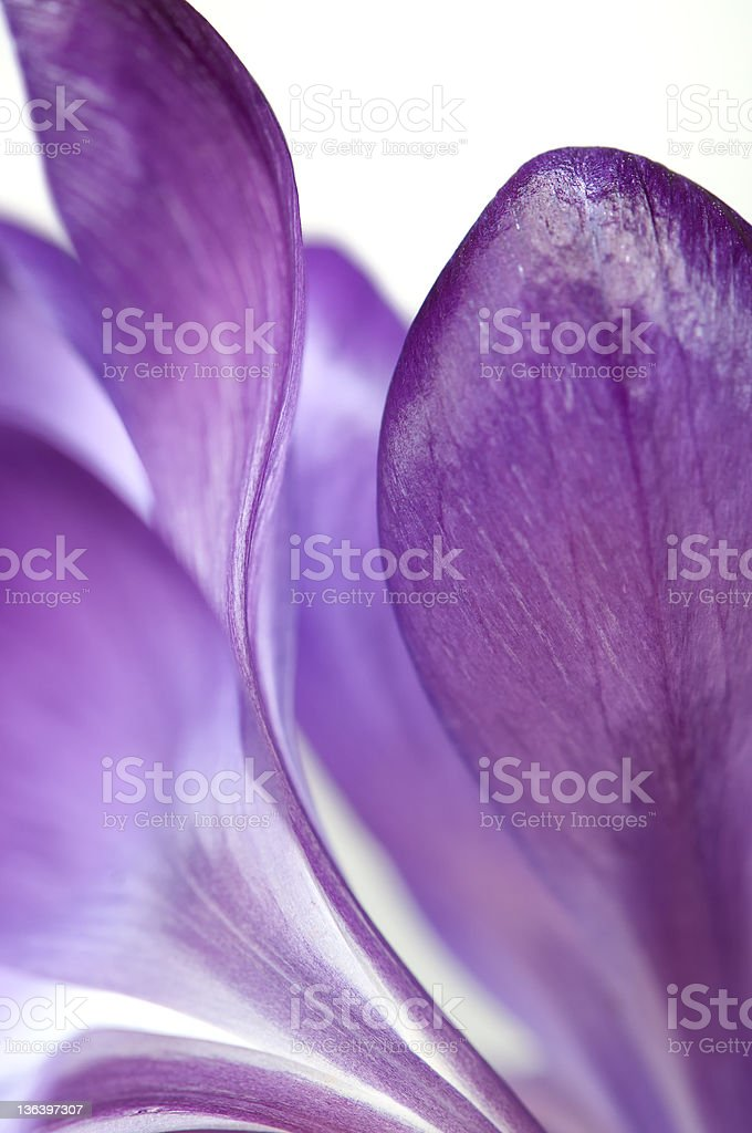 Purple Crocus Petals Abstract royalty-free stock photo