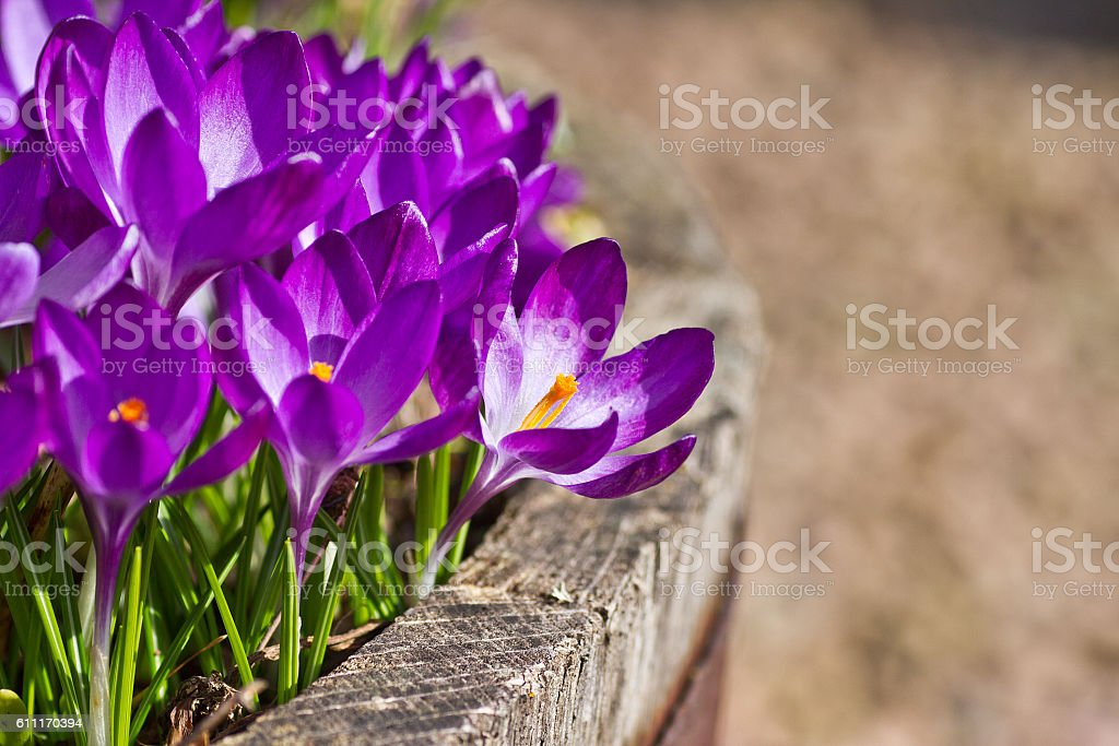 Purple Crocus stock photo