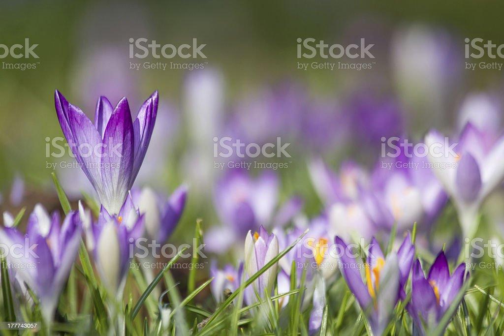 purple crocus spring flowers stock photo