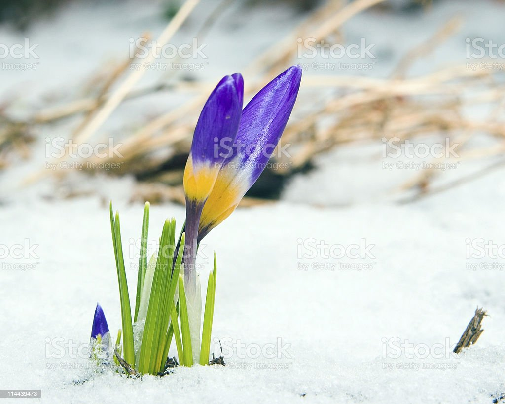 Purple Crocus through the snow in Springtime royalty-free stock photo
