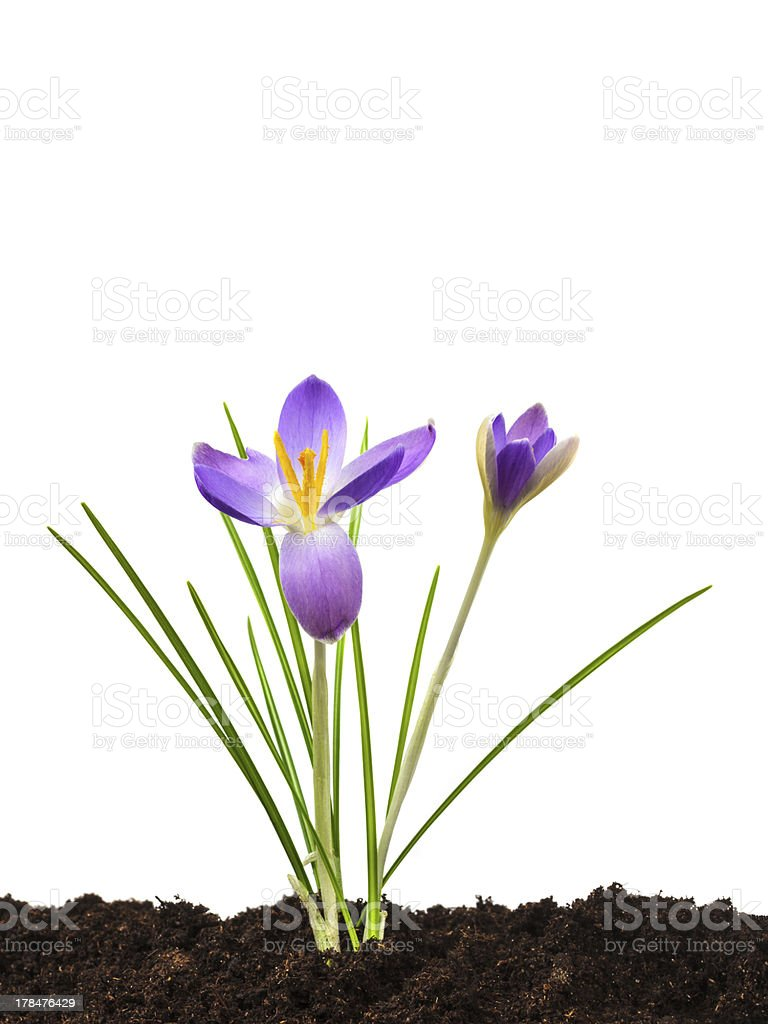 Purple crocus with brown fresh soil isolated on white royalty-free stock photo