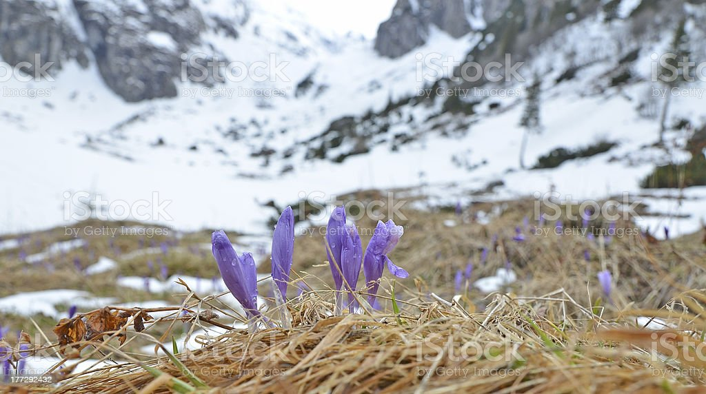 Purple Crocuses at early spring royalty-free stock photo