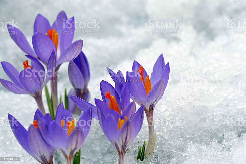 Purple Crocuses growing up on snow stock photo