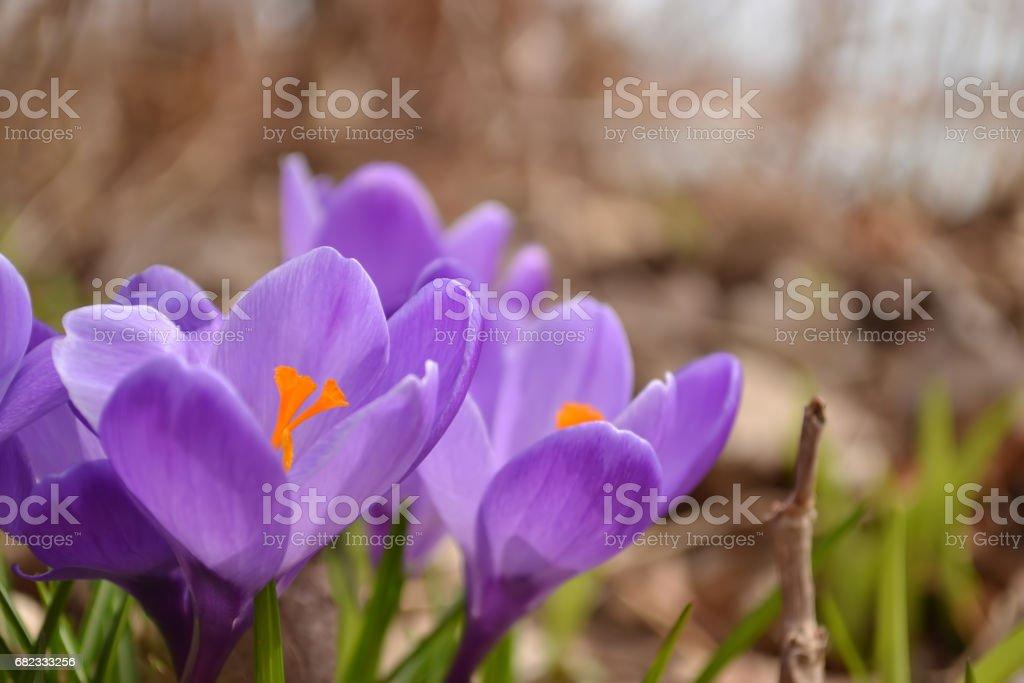 purple crocuses in spring stock photo