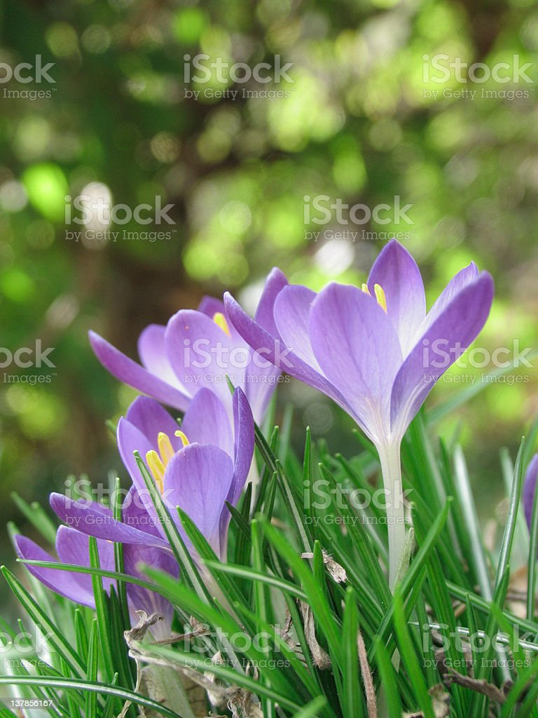 Purple Crocuses in the Grass royalty-free stock photo