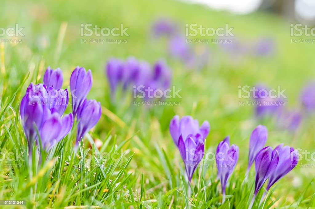 purple crocuses in the grass stock photo